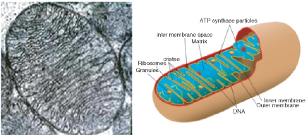 What Do Cristae Do For Mitochondria
