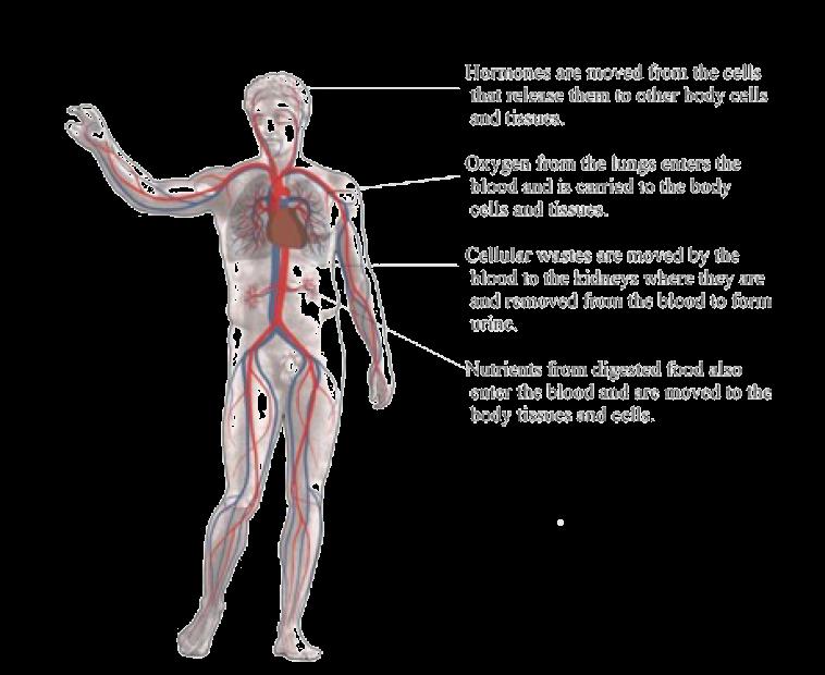 Circulatory System Opencurriculum