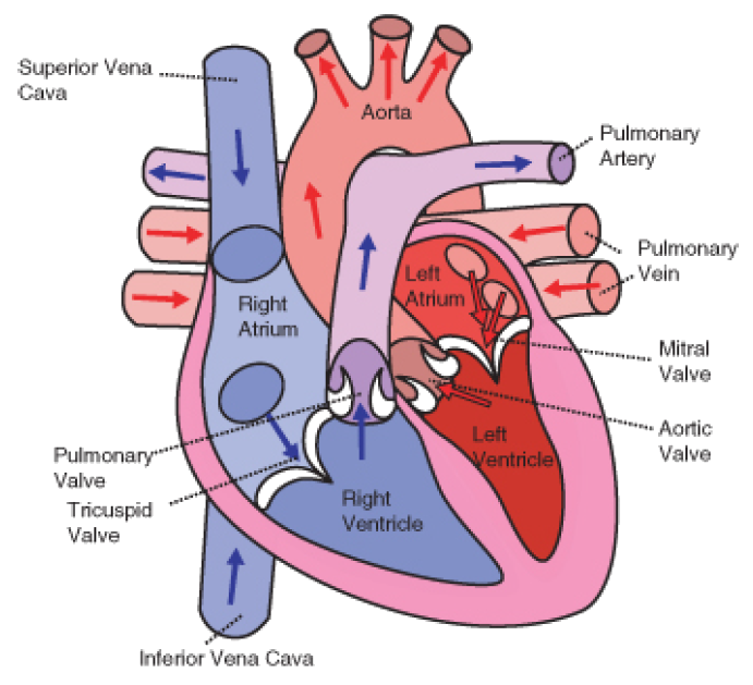 circulatory system ‹ opencurriculum, Muscles