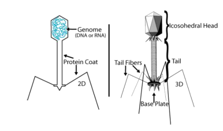 how to make a bacteriophage virus model