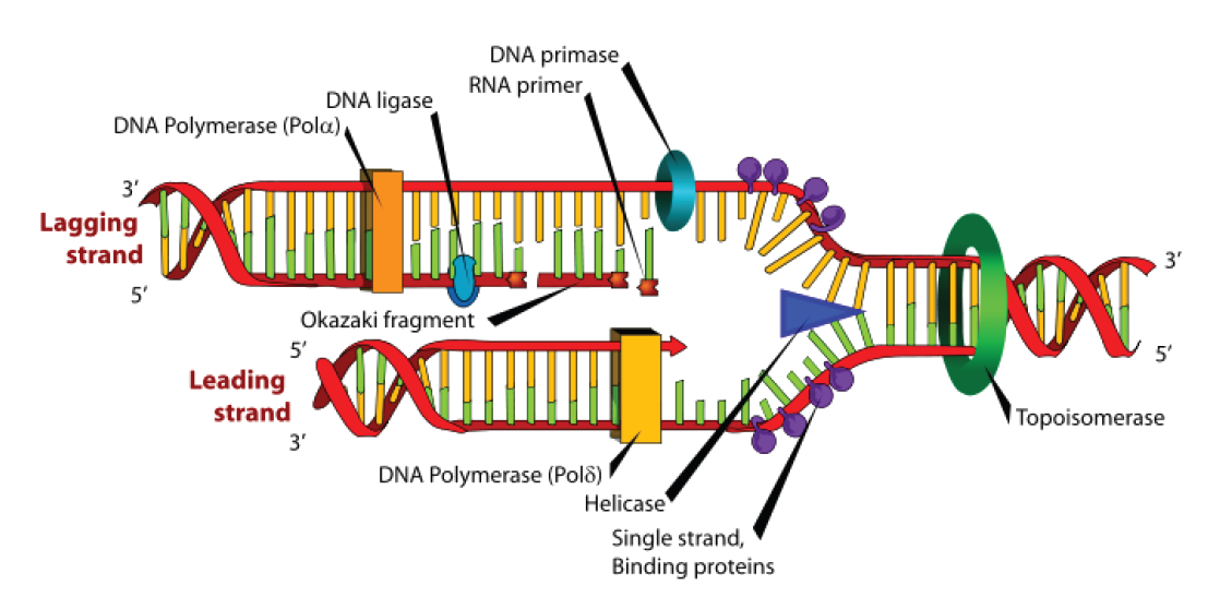 dna and rna  u2039 opencurriculum