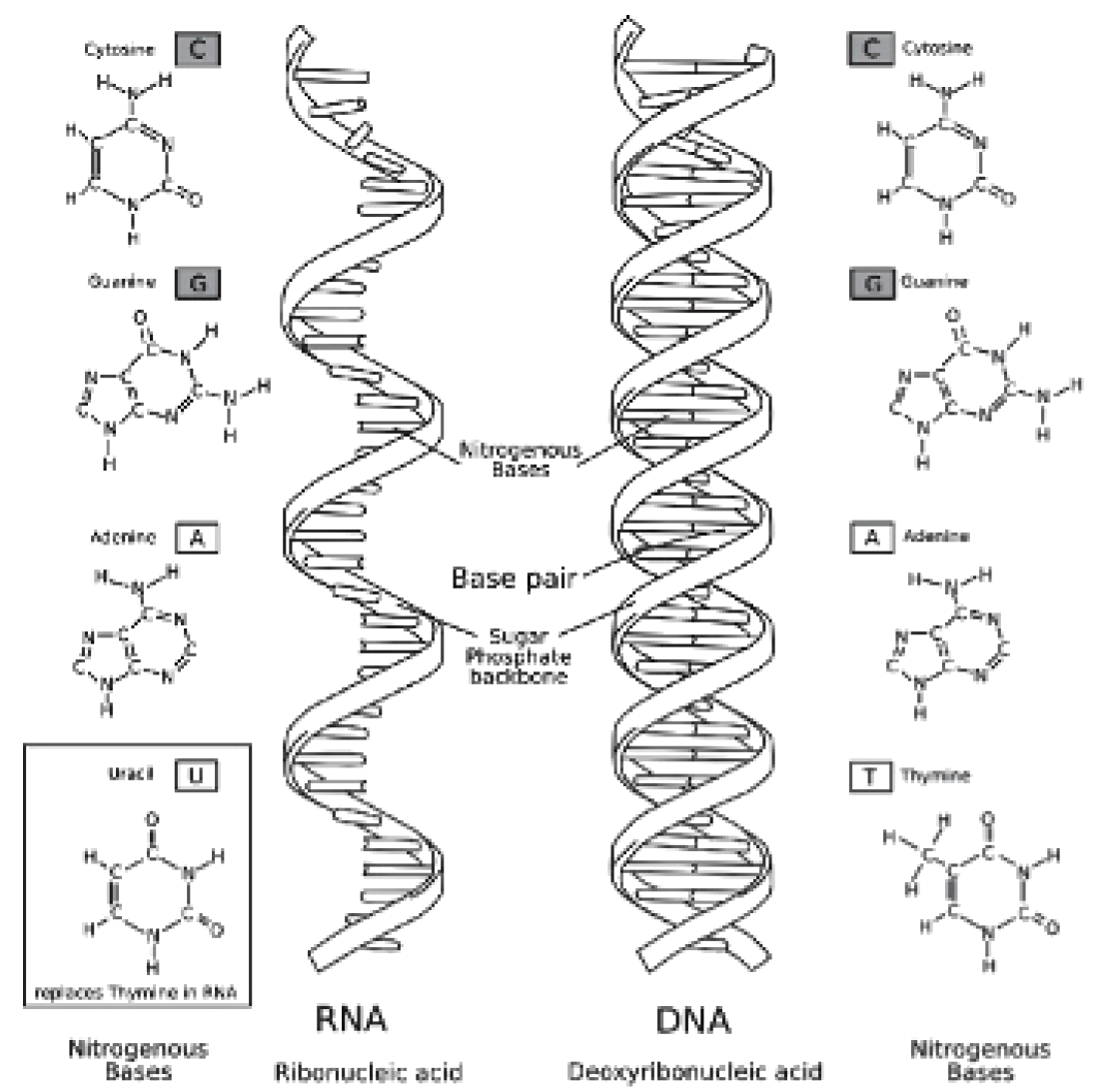 Worksheets Dna Double Helix Worksheet dna and rna opencurriculum