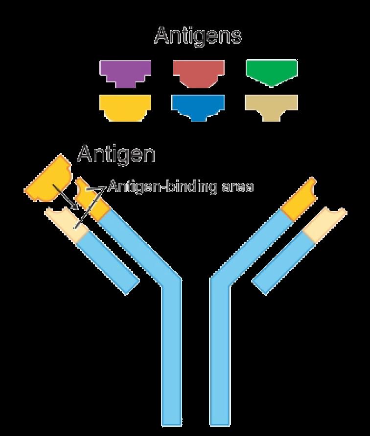 What Is Antigen Antibody Complex Images