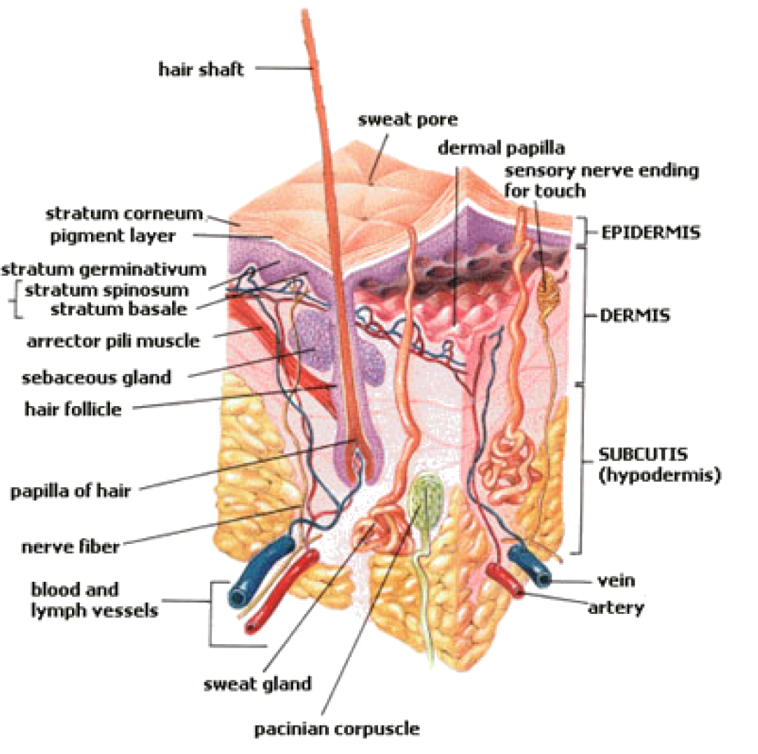 Integumentary System Opencurriculum