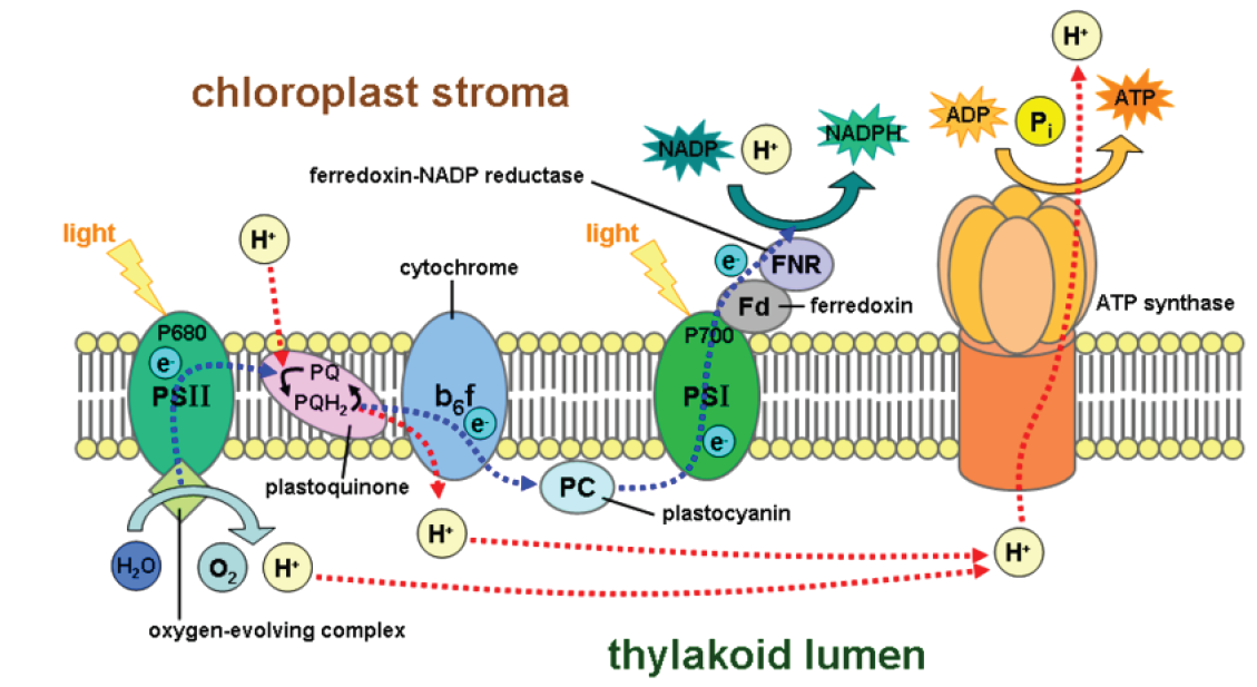 how does photosynthesis work Photosynthesis can happen in plants because they have chlorophyll chlorophyll is the pigment that makes plants green chlorophyll captures the sun's energy and uses.