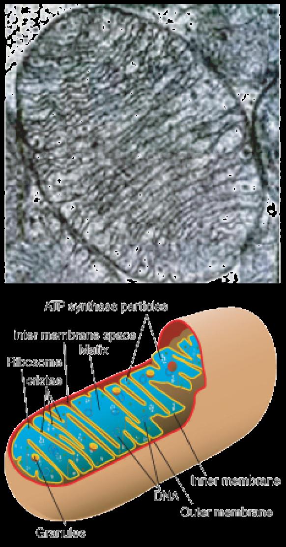 on Mitochondria Structure