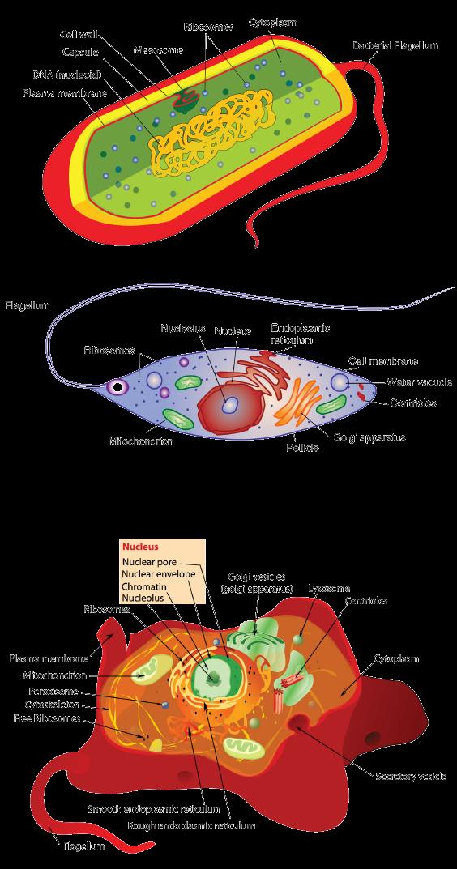 eukaryotic and prokaryotic cells differences