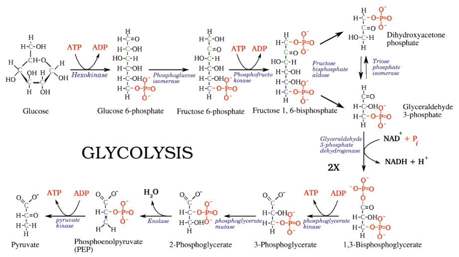 Powering the cell cellular respiration and glycolysis opencurriculum ccuart Image collections