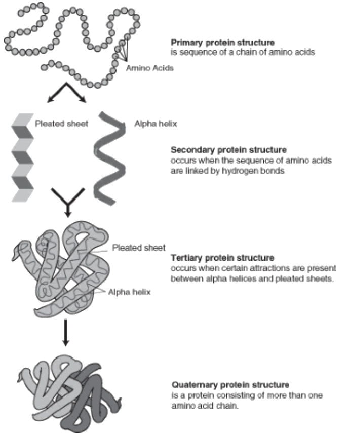 stages of protein synthesis Bacteria use proteins for many purposes: structure, as enzymes, or for transport protein synthesis takes several steps working together.