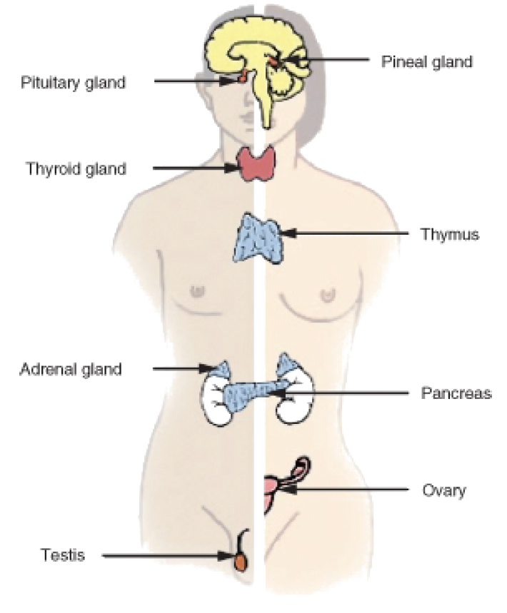 The Endocrine System ‹ OpenCurriculum