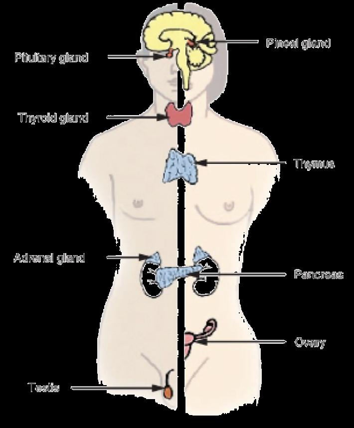 The Endocrine System Opencurriculum