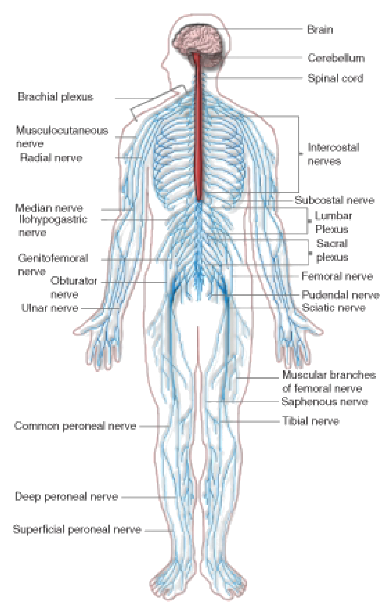 The nervous system opencurriculum figure 17 the peripheral nervous system pns the peripheral nervous system extends from the cns and reaches out to all parts of the body ccuart Images