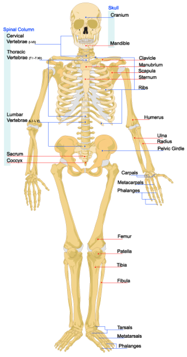 The Skeletal System Opencurriculum